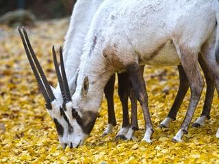 Arabische Oryx im Zoo Zürich
