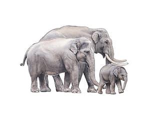 Illustration of Asian elephant