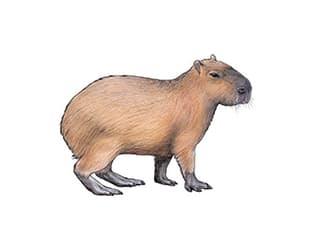 Illustration Capybara