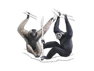 Illustration Kappengibbon