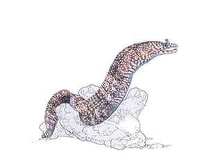Illustration Drachenmuräne