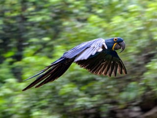 One of the new animal species in the Pantanal: the hyacinth macaw.