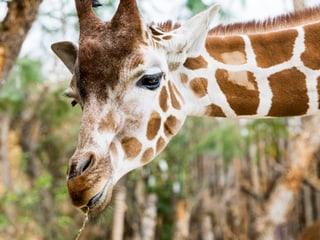 Giraffenfütterung Zoo Zürich