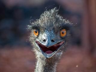 Emu im Zoo Zürich