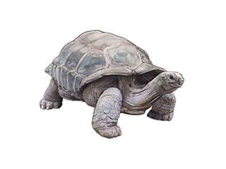 Illustration Aldabra-Riesenschildkröte