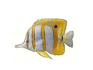 Illustration Kupferbinden-Pinzettfisch