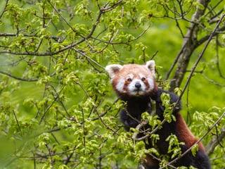 Little Panda at Zurich Zoo
