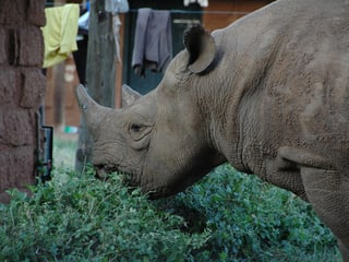 Spitzmaulnashorn im Lewa Wildlife Conservancy in Kenia.