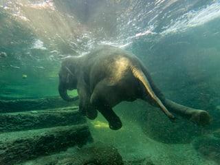 Farha Elefantenbaden Bild: Zoo Zürich, Enzo Franchini