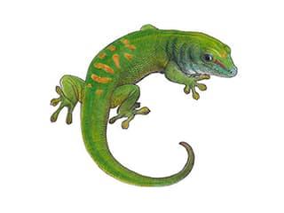 Illustration Grosser Madagaskar-Taggecko