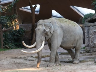 Asiatischer Elefant Maxi im Kaeng Krachan Elefantenpark.