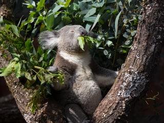Koala im Australienhaus im Zoo Zürich.