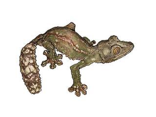 Illustration Plattschwanzgecko