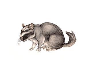 Illustration Flachland-Viscacha