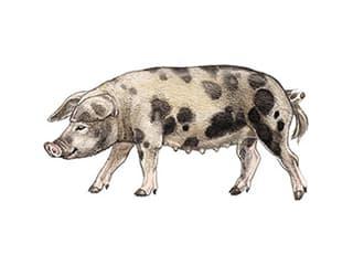 Illustration Turopolje-Schwein