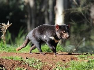 Beutelteufel in Australien.
