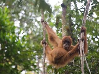 Orang-Utan in der Auswilderungsstation Jantho