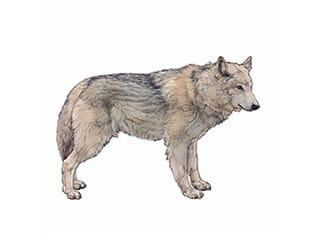 Illustration Mongolischer Wolf