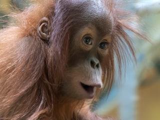 Sumatra-Orang-Utan im Zoo Zürich.