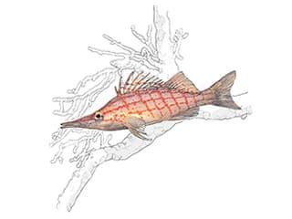 Illustration Langschnäuziger Korallenwächter