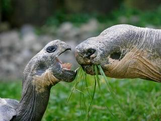 Galapagos-Riesenschildkröten im Zoo Zürich