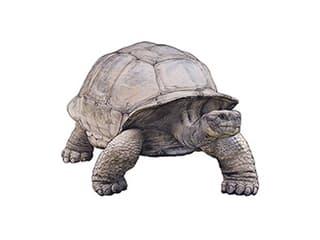 Illustration Galapagos-Riesenschildkröte