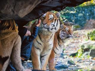 Einblick bei den Amurtigern im Zoo Zürich