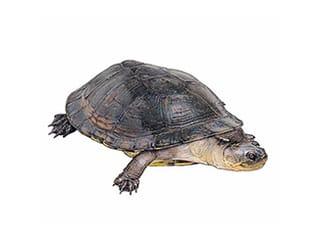 Illustration Dunkle Pelomedusen-Sumpfschildkröte