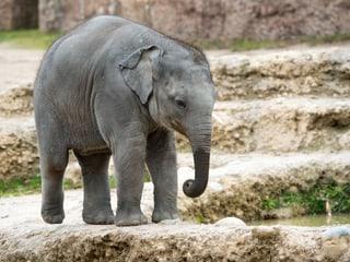 Asiatischer Elefant Omysha im Kaeng Krachan Elefantenpark im Zoo Zürich.