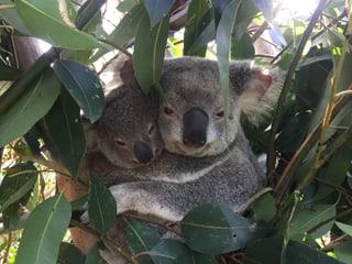 Koala im Australian Reptile Park