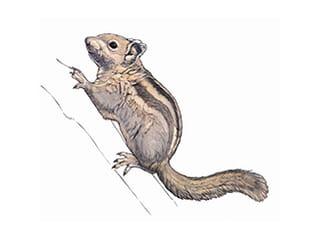 Illustration Chinesisches Baumstreifenhörnchen