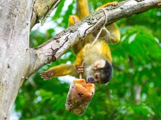 Totenkopfäffchen im Pantanal im Zoo Zürich