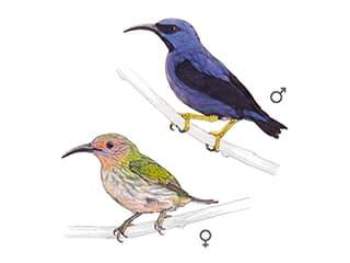Illustration Kobaltnaschvogel