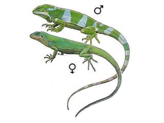 Illustration Gebänderter Fidschi-Leguan