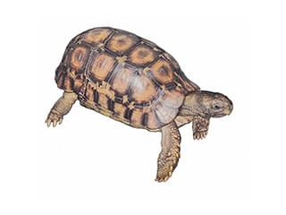 Illustration Glattrand-Gelenkschildkröte