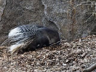Stachelschwein Otavi im Zoo Zürich.