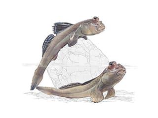 Illustration Atlantischer Schlammspringer