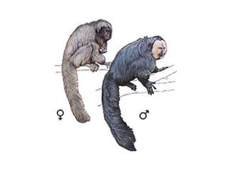 Illustration Weisskopfsaki