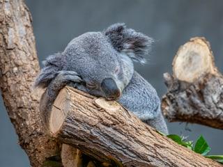Schlafender Koala Milo im Zoo Zürich.