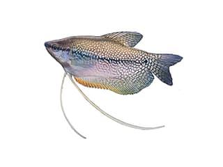 Illustration Mosaikfadenfisch