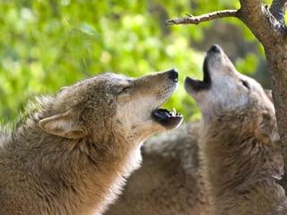 Mongolische Wölfe im Zoo Zürich