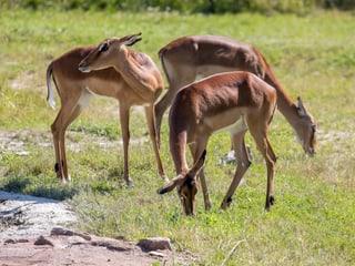 Impalas in der Lewa Savanne im Zoo Zürich.