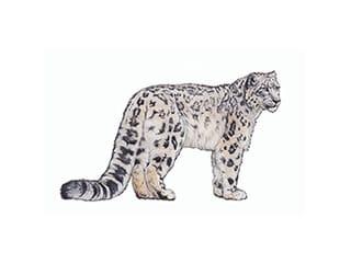 Illustration léopard des neiges