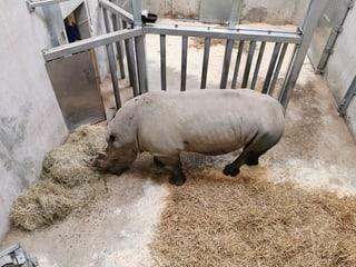 Der Breitmaulnashornbulle Kimba in der Quarantänebox.