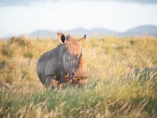 Breitmaulnashorn in Kenia.
