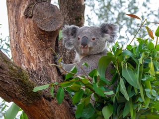 Koala Milo in der Australienaussenanlage im Zoo Zürich.