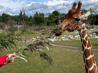 Giraffenfütterung Lewa Savanne