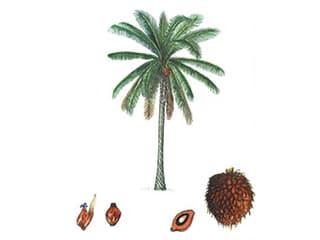 Illustration Afrikanische Ölpalme
