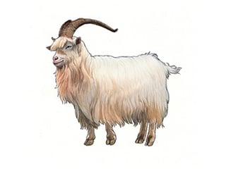 Illustration Kaschmirziege