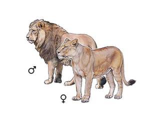 Illustration Indian lion